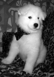 продаются великолепные щенки Самоедской Собаки