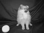 Предлагаю щенков немецкого миниатюрного(померанского)шпица