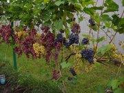 Саженцы винограда оптом и в розницу