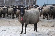 Продажа овец,  баранов и ягнят романовской породы